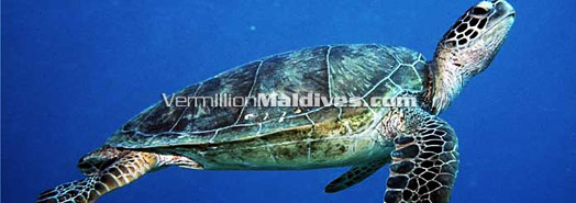 Maldives - Endangered turtles
