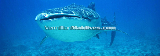 Maldives - Protected marine species