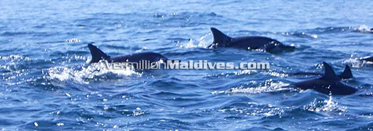 Maldives - Whale & Dolphin watching