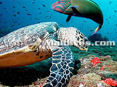 Maldives Under water beauty. Diving available at Hudhuranfushi Maldives