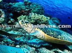 Snorkeling - Enjoy leisure time in Alila Villas Maldives – Hadahaa Resort
