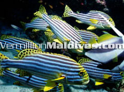 Your new friends to be made during your Maldives holiday