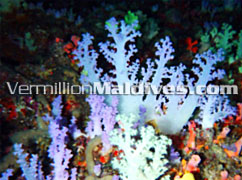 Colourful Under Water Maldives – Hotel Athuruga Maldive