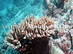 House reef Snorkeling, Diving & other activities at Maldives Hotel. Banyan Tree Madivaru Resort