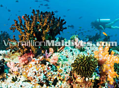Baros Island offers quality Diving experience in Maldives