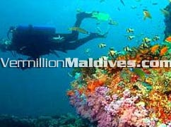 Colourful Fishes & Corals : Biyadhoo Maldives Diving Vacations