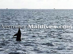 Dolphin Watching - Chaaya Island Dhonveli – Activities