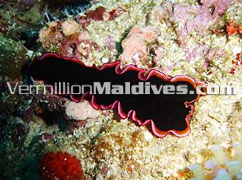 Diving - Chaaya Reef Ellaidhoo – Maldives Island
