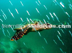 Turtles of Maldives - Diving Holidays and Vacations