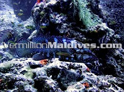 Diving the Under Water of Maldives at Hotel Coco Palm