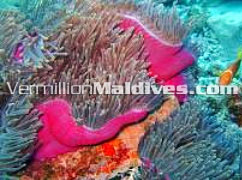 Best pictures of Maldives underwater garden. Come on Nemo