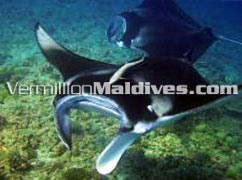 Dive the Maldives Waters. Diving is available wherever you stay