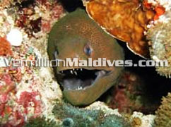 Maldivian Moray Eel. Come & visit Maldives to picture