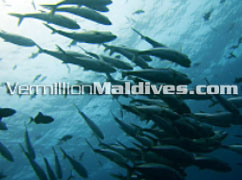 Schools of fishes for you to see & picture