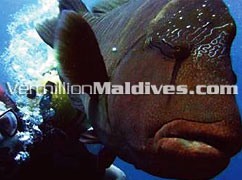 Tell you have dived with a Napolean in Maldives Ari Atoll Dhoni Island