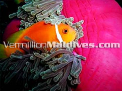 Cute little NEMO (clown fish): House reefs of Embudhu Village Maldives
