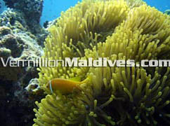 Embudu Village has own house reef for snorkeling and offers diving and other activities