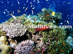 Excellent dive sites: few minutes from the Equator Village Maldives