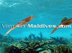 Eriyadhu Underwater Maldives – Scuba Diving and more