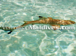 Friendly Sharks often seen in Maldives Resort Fihalohi