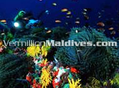Beauty under the water: Maldives Scuba Diving Resorts Kuda Huraa