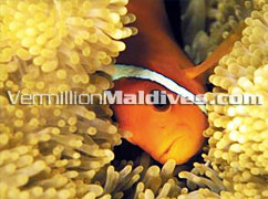 Four Seasons Landaa Giraavaru: Maldives scuba Diving Resorts