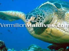 Your under water friend at Giraaavru Island Resort Maldives