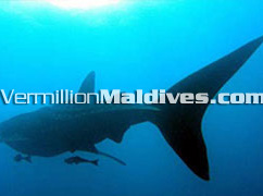 Helengeli -  Maldives Diving Resorts – Whale Sharks