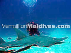 Diving at Noonu Atoll at Irufushi is unbelievable. A Maldives Dive Resort hotel