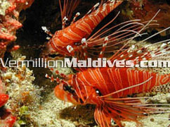 Book with Vermillion & see the colours of Maldives underwater