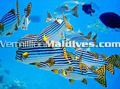 Holiday Island Maldives.  Go for diving & snorkeling