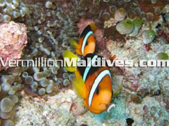 Tour & travel Maldives waters & see crown fish, jelly fish & many more
