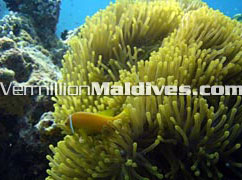 Tour & travel under the underwater gardens of the Maldives