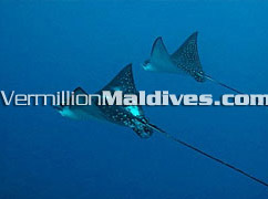 Mantas in Maldives – Best Diving Resorts of Maldives