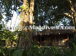At Kuramathi Maldives accommodations are surrounded by lush tropical vegetations