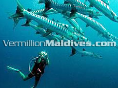 Kuramathi Blue Lagoon Maldives - Diving Resorts for PADI Divers