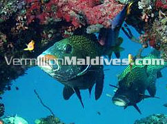 Kuramathi Blue Lagoon underwater friends are waiting for your dive & visit