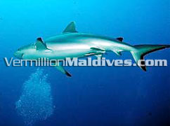 Visit Maldives Kuramathi Blue Lagoon if looking for a diving holidays resort