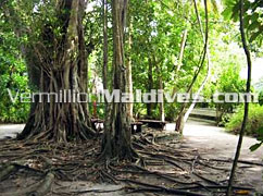 Lush Greenery and Trees in Madoogali Island Resort Maldives
