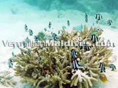 Snorkeling in the Maldives Resort Maavelavaru developed by Mandarin Oriental