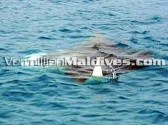 Manta Ray near Olhuveli– Trusted such friends will meet you frequently