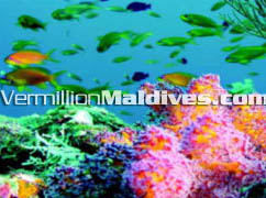 Olhuveli Maldives – beautiful and colorful Life in this natural aquarium