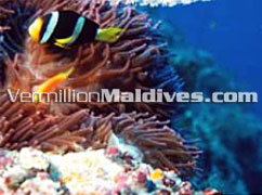Under water garden of Maldives: See it during your dives at Paradise Island
