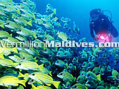 Sheraton fullmoon is one of the best diving resort in Male' Atoll Maldives