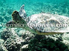 Turtle near Summer Island Village Maldives Underwater Friend