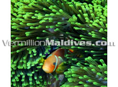 Diving and Snorkeling in Maldives – Haven Maldives Resort