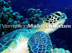 Dive the Maldives from Hotel Regent and maybe you'll see a turtle