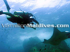 Diving in the Maldives - The Regent Maldives – Manta Rays