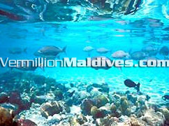 Varieties of coulourful fishes waiting to be your friend near Vakarufalhi Maldives