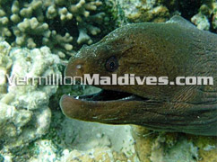 Diving and Snorkeling in Velidhu -See friendly eels and Other fishes of Maldives